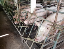 Boars in small stalls at Wacol pig semen collection facility