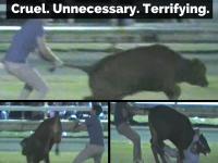 Calf Scruffing - cruel, unnecessary, terrifying