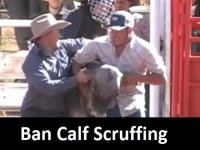 Calf Scruffing - Quamby Rodeo