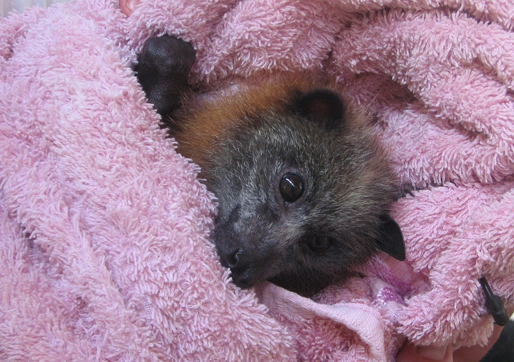 Baby flying fox. Photo | Copyright (c) Gayle D'Arcy, Animal Liberation Qld, 2013